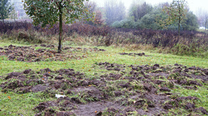 In Berlin, streetwise swine often tear up grassy areas in city parks, residential areas, cemeteries and stadiums as they search for food.