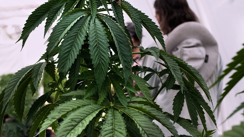A documentary project takes a peek behind the scenes of marijuana production. (H. Lee)
