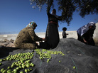 Palestinian women harvest olive trees near the occupied West Bank village of Deir Samet near the town of Hebron.