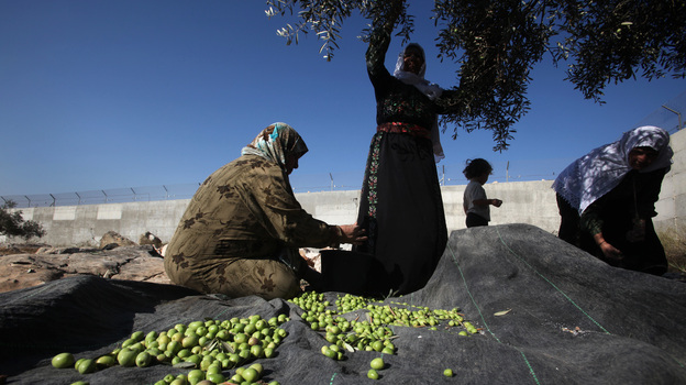 Palestinian women harvest olive trees near the occupied West Bank village of Deir Samet near the town of Hebron. (AFP/Getty Images)