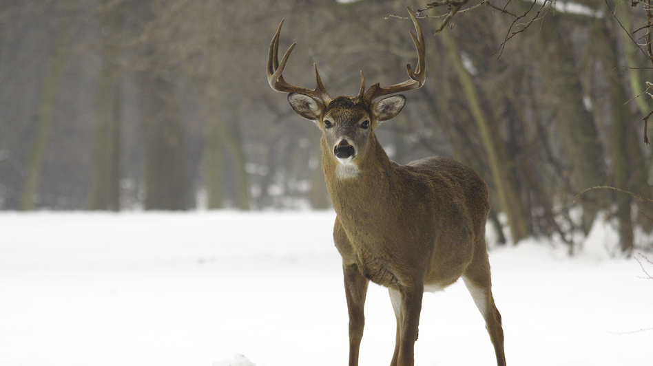 As white-tailed deer have returned to New England in the past century, they've brought with them tick-borne parasites that cause human diseases. (iStockphoto.com)
