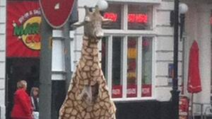 The Good Giraffe, trying to de-mean the streets of Dundee, Scotland.