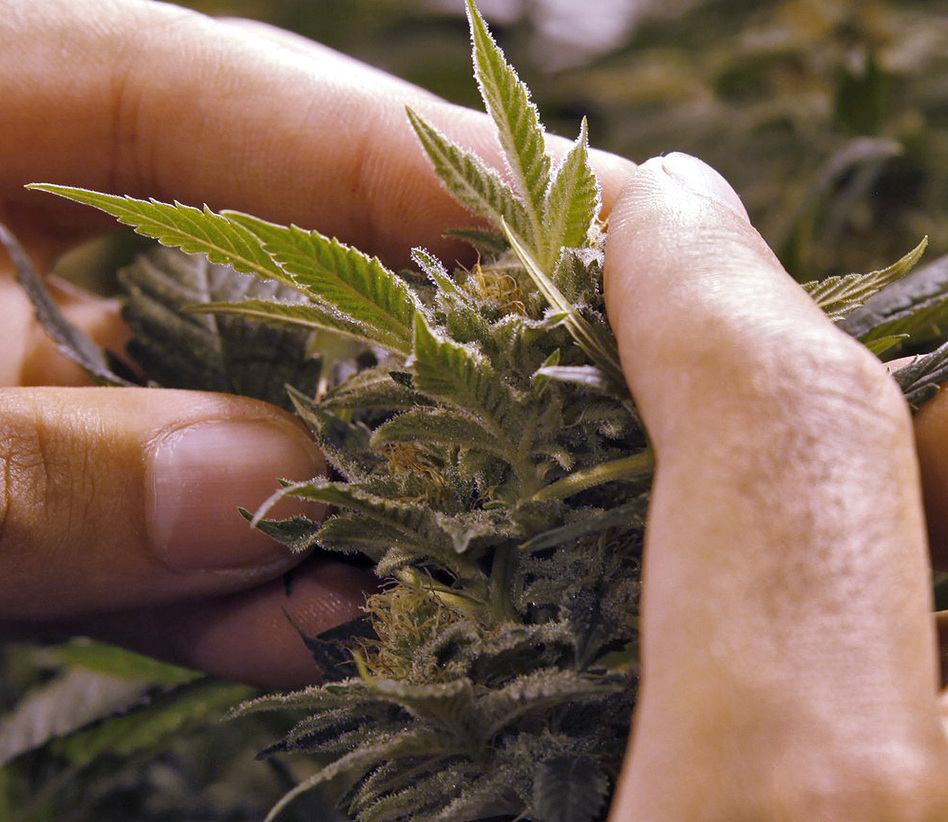 A worker inspects a marijuana plant at a grow house in Denver on Nov. 8.
