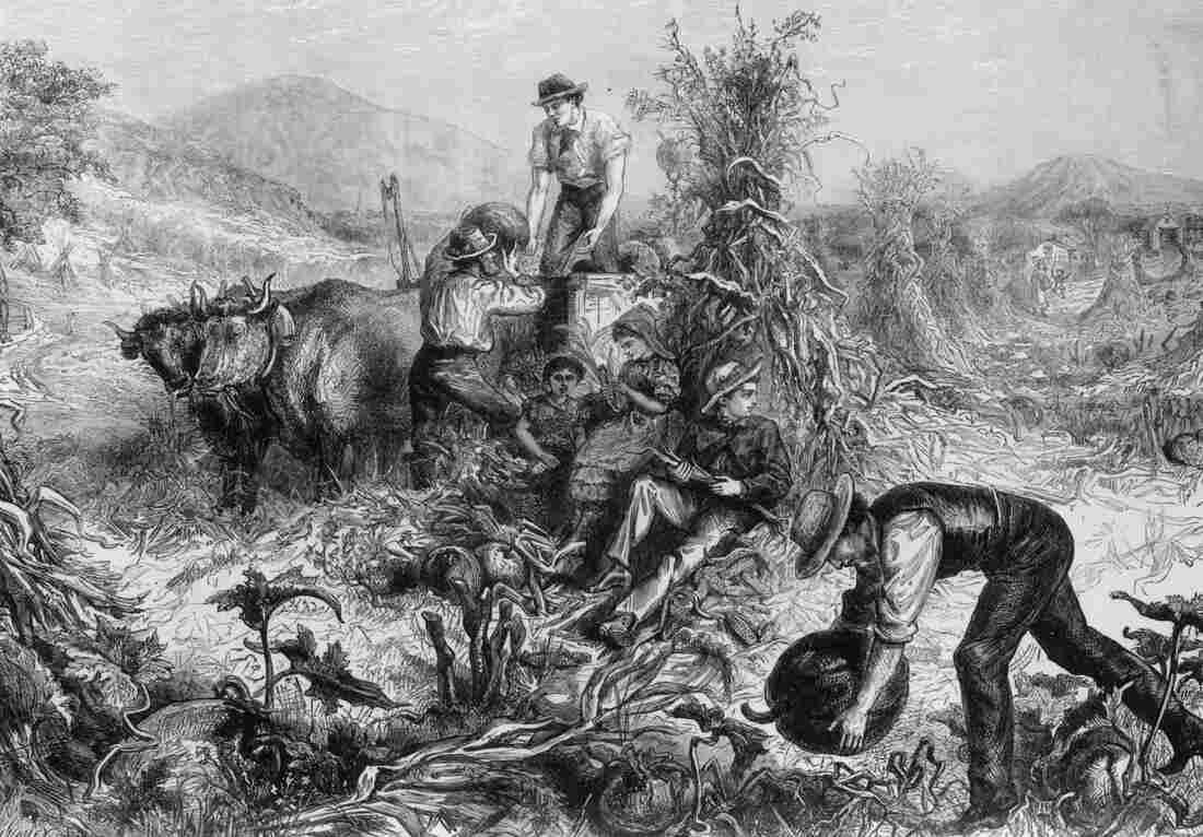 Idyllic scene of an American farmer collecting pumpkin in a field.