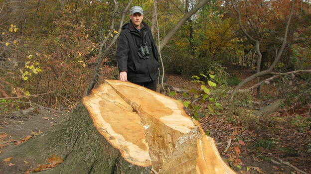 Ken Chaya created a map that charts every single tree in New York's Central Park. He stands next to one of the thousands of trees uprooted by Sandy. (NPR)
