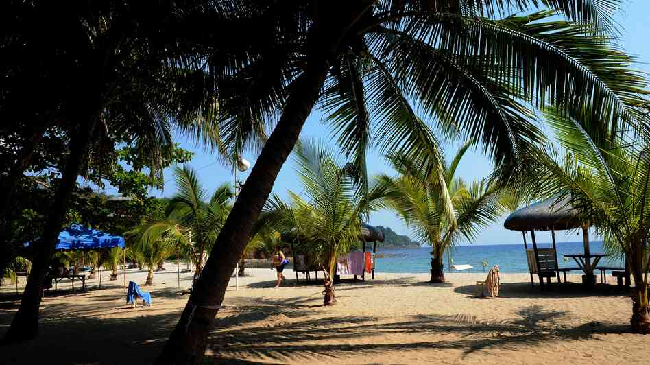 The diversity of coconut trees like these planted along the beach in the northern Philippines is in danger, but a French scientist has a plan.