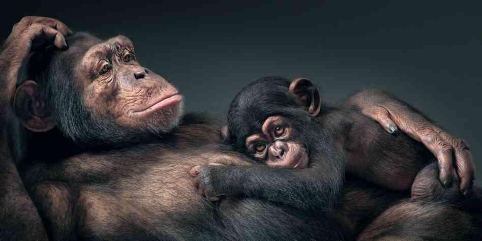 http://media.npr.org/assets/img/2012/11/20/common-chimpanzee-small_custom-229066d8b44e04896701d31082b63993ac22f012-s6-c30.jpg