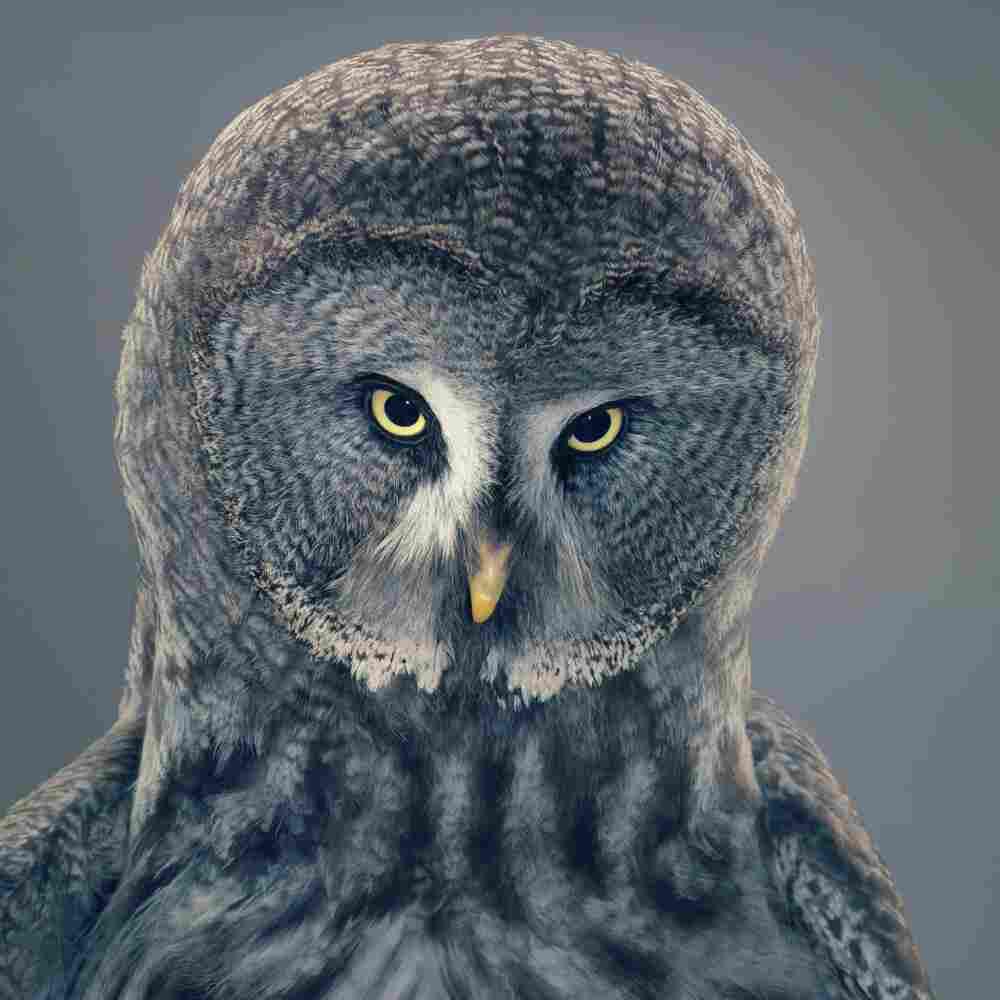 Name: Grace | Species: Great gray owl, Strix nebulosa | Organization: AmeyZoo, Hertfordshire, U.K. | Handler: Mark Amey