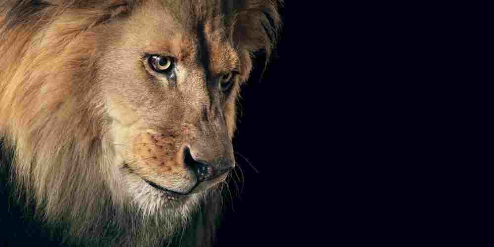 Name: Felix | Species: Lion, Panthera leo | Organization:  Hollywood Animals, California, U.S. | Handler: Eric Weld