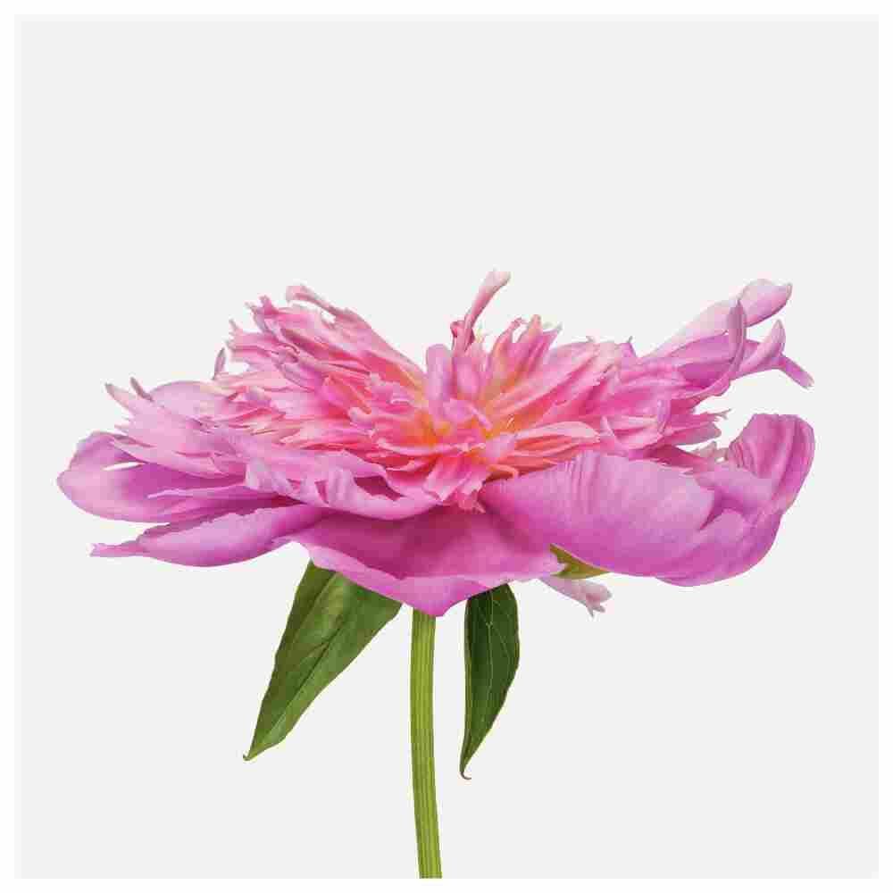 Order: Dilleniales | Family: Paeoniaceae | Common Name: peony Botanical | Name: Paeonia cultivar