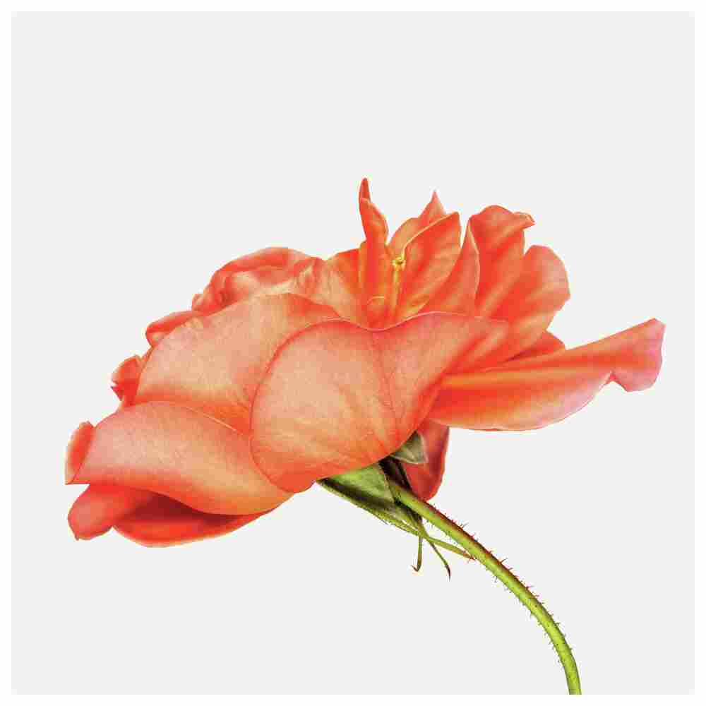 Order: Rosales | Family: Rosaceae | Common Name: shrub rose | Botanical Name: Rosa Westerland