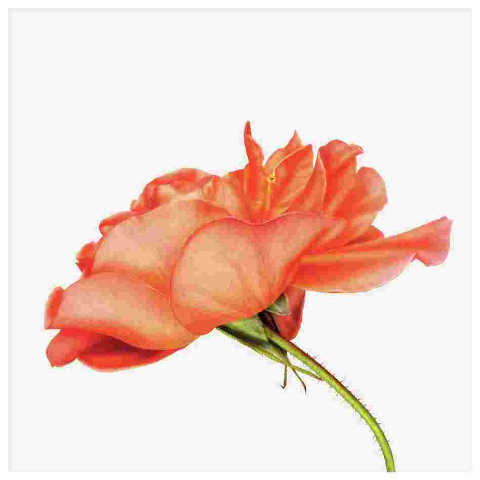Order: Rosales | Family: Rosaceae | Common Name: shrub rose | Botanical Name: Rosa Westerland