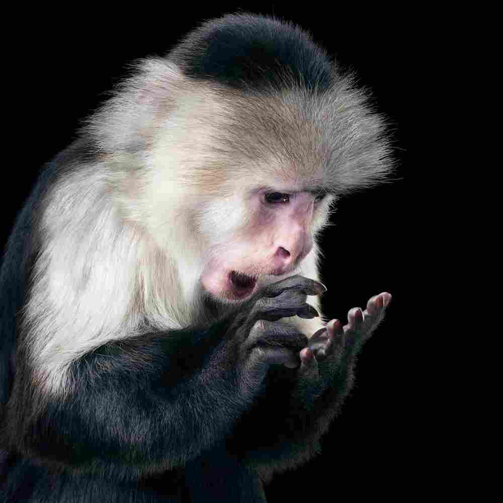 Name: Rupee | Species: White-faced capuchin monkey, Cebus capucinus | Organization: Hollywood Animals, California, U.S. | Handler: Eric Weld