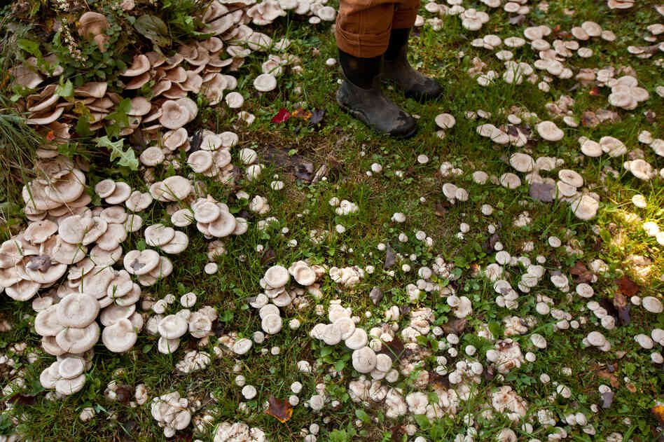 Mushrooms grow in the yard of Maggie Rullo, the landowner who gave the farm (now known as Maggie's Farm) to The Farm School.