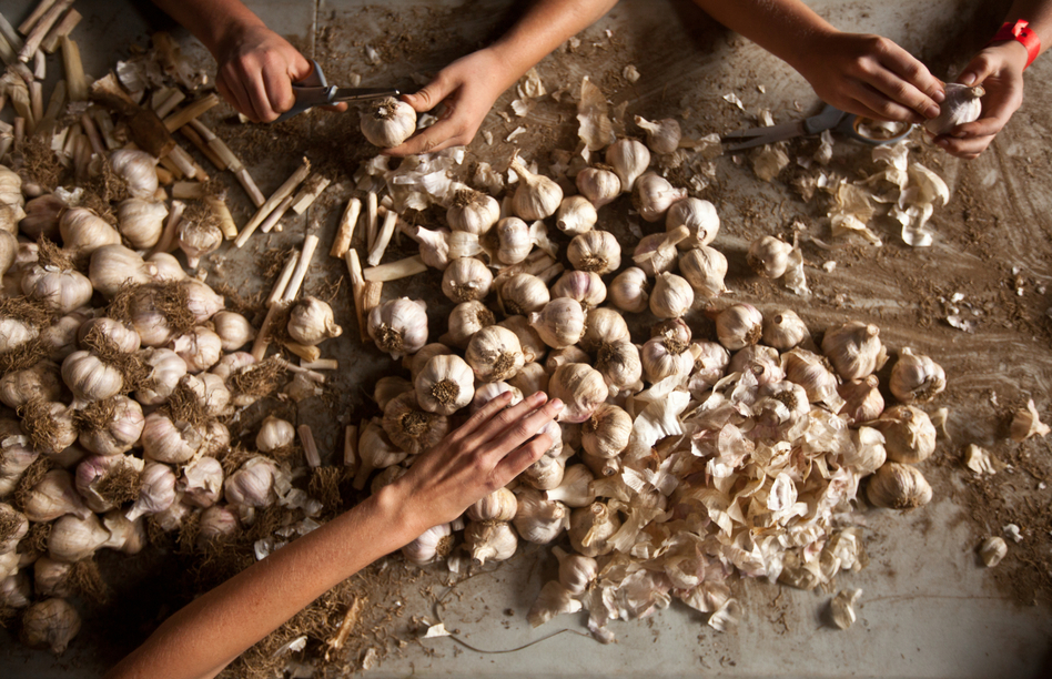 Student farmers clean and sort a variety of hardneck garlic called Music. The garlic that is truest to form will be kept for next year's seed and the rest will be sold at market, distributed in a CSA or kept for the farmhouse.