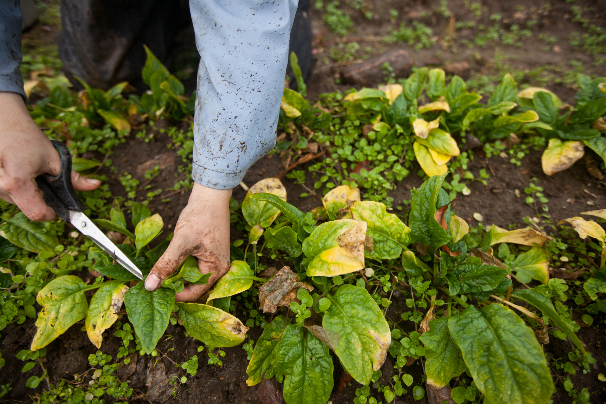 Late-season, frost-damaged spinach is harvested in the rain for a CSA distribution.