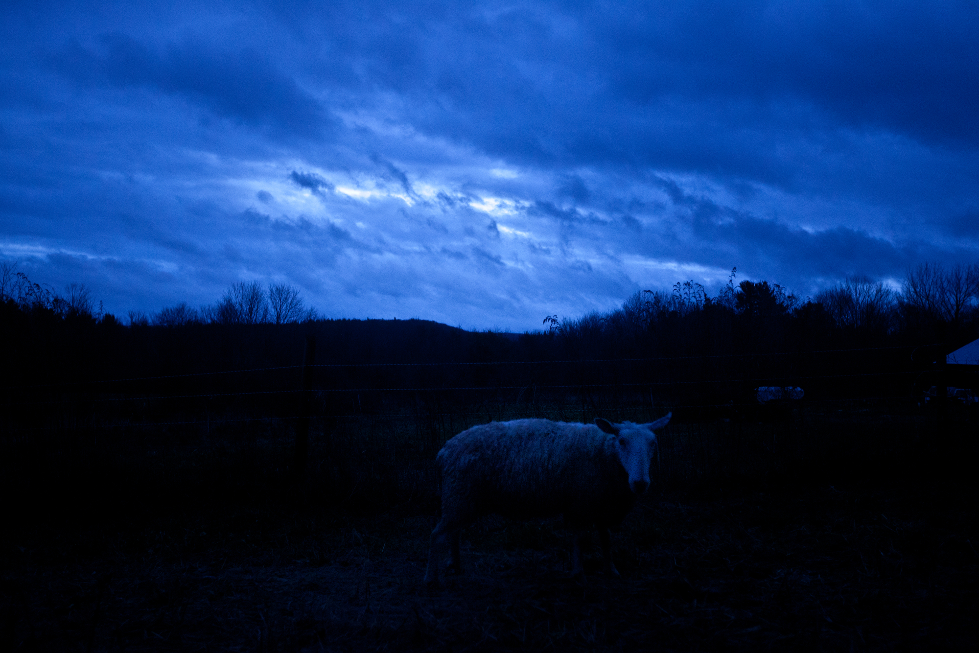 A sheep wanders near the protection of a barn early in the morning as Hurricane Sandy blows through.