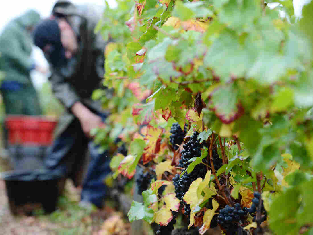Workers pick fruit Sept. 22 during the grape harvest at the Gevrey-Chambertin vineyard in France's Burgundy region. Bad weather has reduced the grape yield by as much as 70 percent in some vineyards.