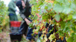 Burgundy's Yield Fails To Meet Grape Expectations