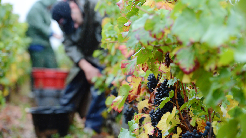 Workers pick fruit Sept. 22 during the grape harvest at the Gevrey-Chambertin vineyard in France's Burgundy region. Bad weather has reduced the grape yield by as much as 70 percent in some vineyards. (AFP/Getty Images)