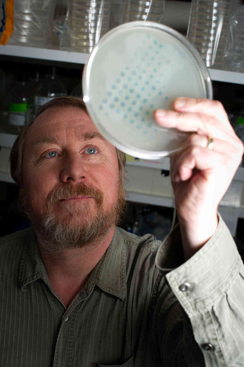 Richard Lenski examines the growth of bacteria on a plate on Jan. 12. He began an evolution experiment in 1988 with 12 identical flasks of bacteria to see if the populations would change over time in the same way.