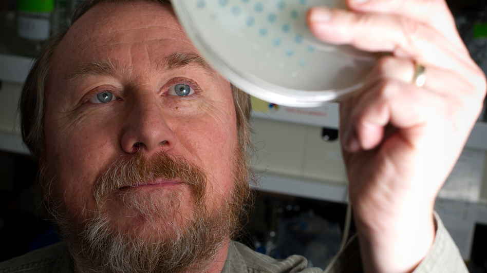 Richard Lenski examines the growth of bacteria on a plate on Jan. 12. He began an evolution experiment in 1988 with 12 identical flasks of bacteria to see if the populations would change over time in the same way. (Michigan State University)