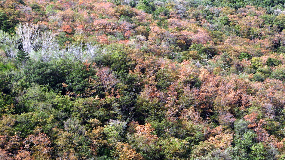 A forest near Trieste, Italy, is largely dead owing to drought stress during the summer of 2012. (Nature)