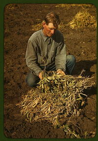 Bill Stagg, homesteader, with pinto beans, 1940