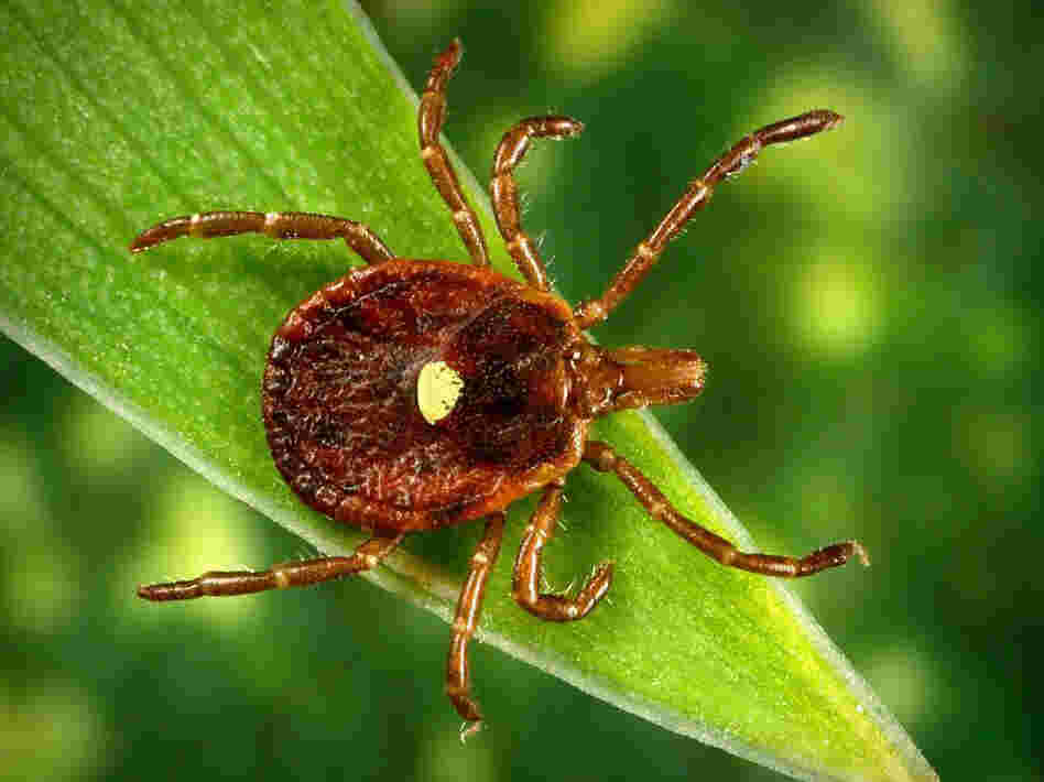 The Lone Star tick, common to the southeastern U.S., is responsible for inducing meat allergies in some people, scientists say.