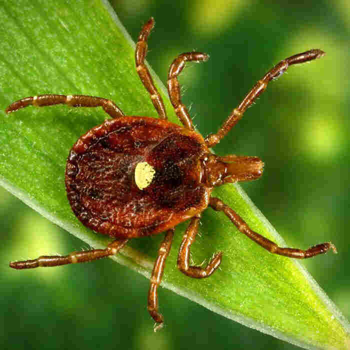 Rare Meat Allergy Caused By Tick Bites May Be On The Rise