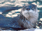 Once almost gone from Illinois, river otters are now back in big numbers.