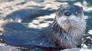 Paying For Success: River Otters Are Being Trapped Again In Illinois