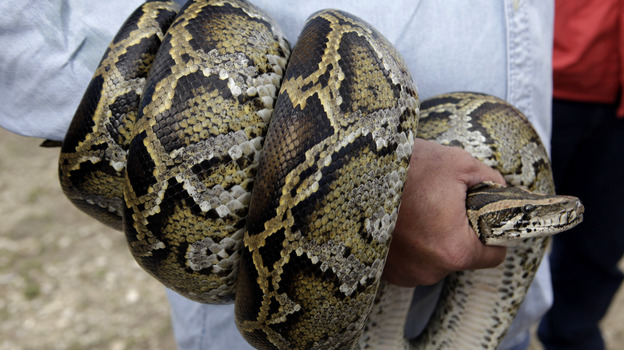 A Burmese python coils around the arm of a hunter during a news conference in 2010 in the Florida Everglades. New research suggests that the pythons won't spread through the American Southeast, as previously believed. (AP)