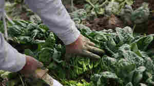 Spinach has lots of opportunities to pick up E. coli and other bugs during harvest and growing. Here, a Mexican migrant worker cuts organic spinach during the fall harvest at Grant Family Farms in Wellington, Co.
