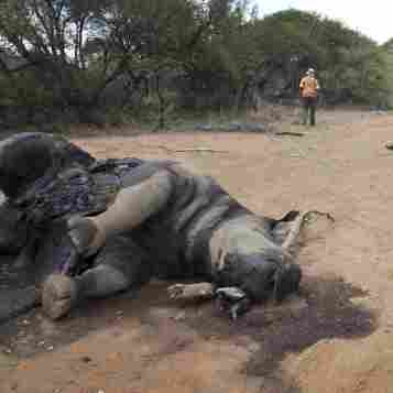 Despite Protection Efforts, Rhino Poaching Soars