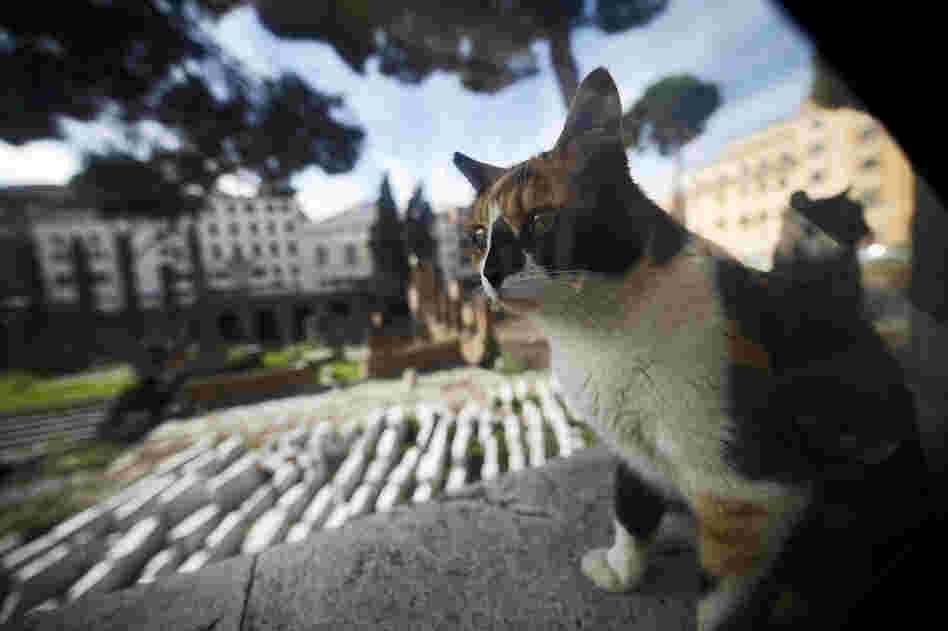 A stray cat rests at the Torre Argentina ruins in Rome in October. Officials say a cat shelter that sits adjacent to the site must be shut down.