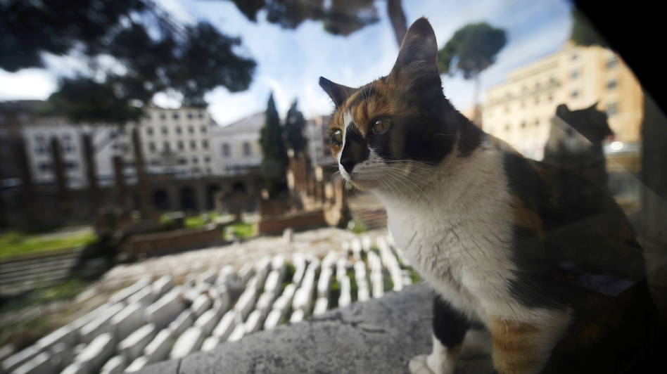 A stray cat rests at the Torre Argentina ruins in Rome in October. Officials say a cat shelter that sits adjacent to the site must be shut down. (AFP/Getty Images)