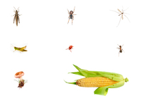 Organisms found in and Iowa cornfield: an ant, one mushroom, a cobweb spider, a half eaten crane fly,  a red mite  and some grasshoppers.