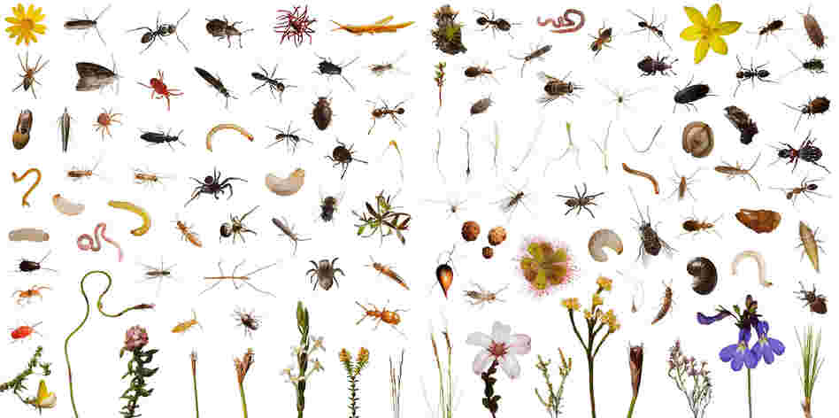 These 113 creatures observed, and then photographed, include over 100 species of plants and animals that use one cubic foot of this highly diverse shrub land over the course of a normal day in Mountain Fynbos, Table Mountain, South Africa.