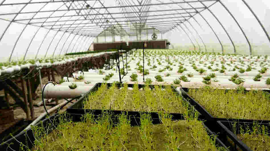 "There's a greenhouse boom around the country, thanks in part to the ""buy local"" movement. Paul Mock grows tomatoes, herbs and other veggies year-round in his Berkeley Springs, W.Va., greenhouse and sells to groceries and restaurants in the Mid-Atlantic."