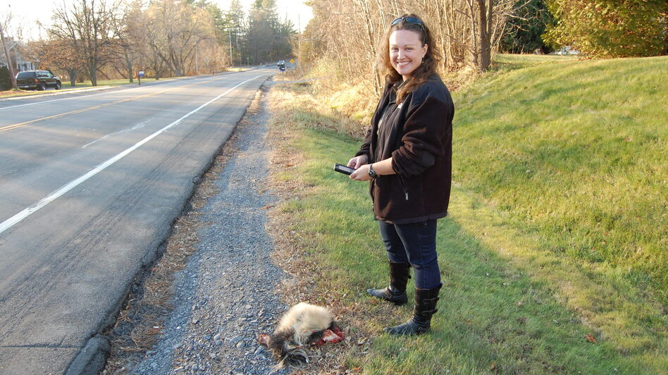 When wildlife ecologist Danielle Garneau finds roadkill, she uploads data about it onto her smartphone. (NCPR)
