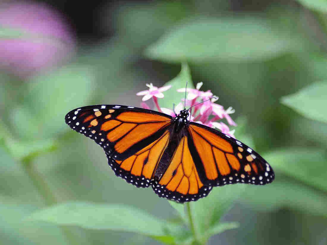 A Monarch butterfly (Danaus plexippus) in Costa Rica