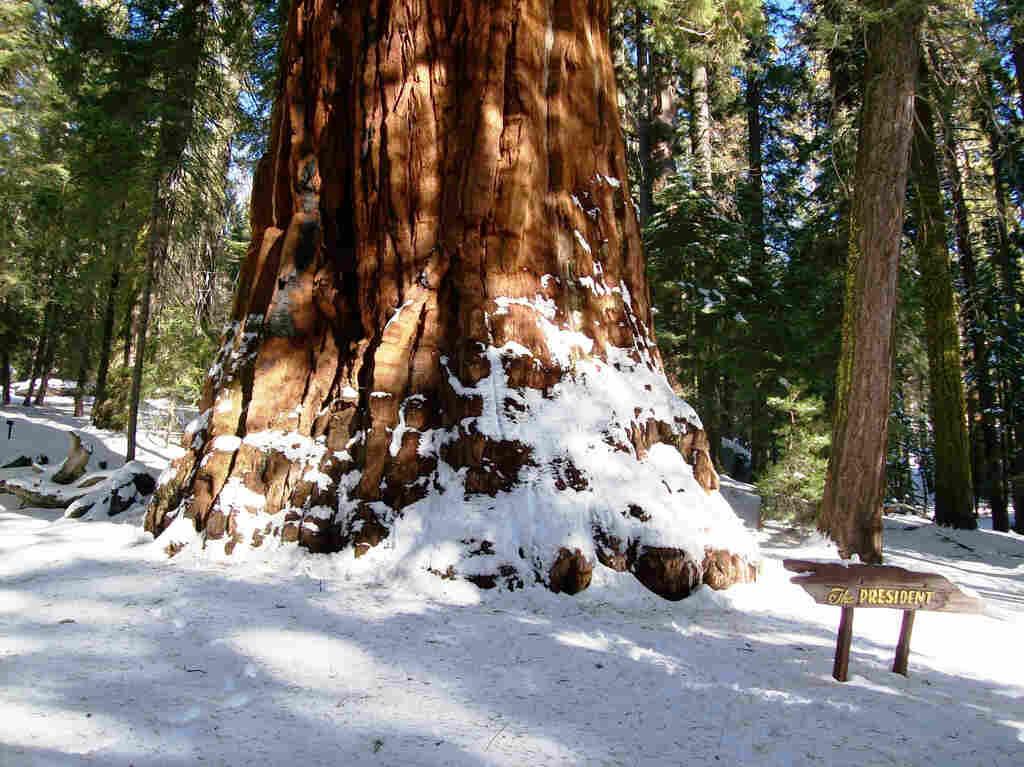 The President tree.