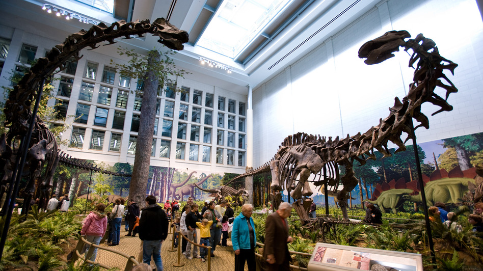 Apatosaurus (right, opposite a Diplodocus skeleton at the Carnegie Museum of Natural History in Pittsburgh), is what paleontologist Othniel Charles Marsh actually found when he thought he'd discovered the Brontosaurus. (Carnegie Museum of Natural History )