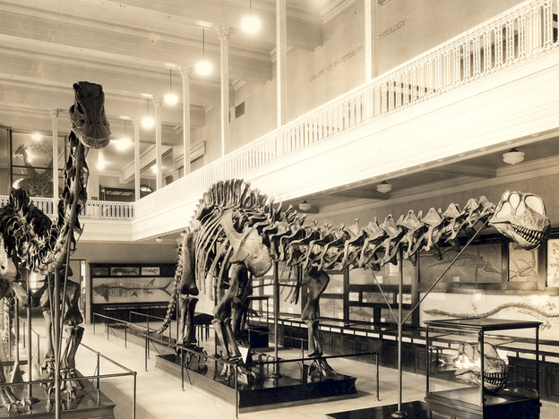 This photograph from 1934 shows the Carnegie Museum's Apatosaurus skeleton on the right — wearing the wrong skull. (Carnegie Museum of Natural History )