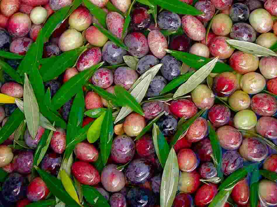 Freshly picked Arbosana olives from the Texas Olive Ranch in Carrizo Springs, Texas.