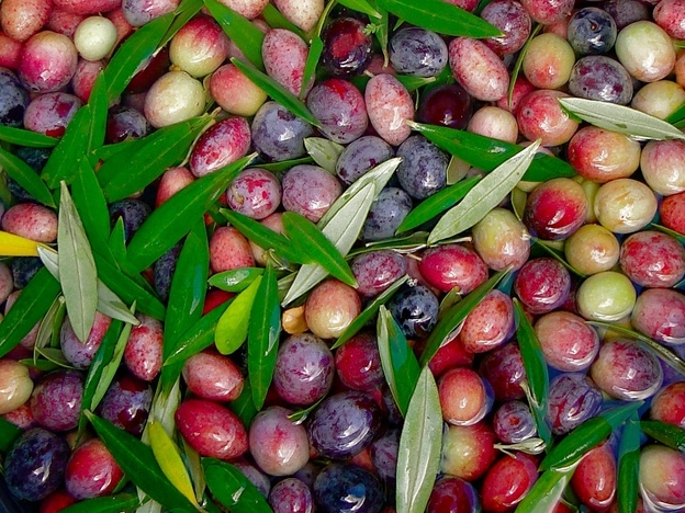 Freshly picked Arbosana olives from the Texas Olive Ranch in Carrizo Springs, Texas. (Karen Lee Henry)