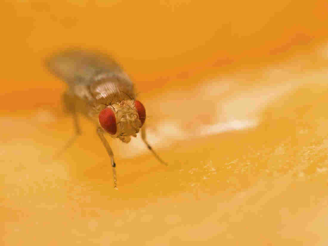 Now we know why we'll never see a common fruit fly (Drosophila melanogaster) sitting on a beet.