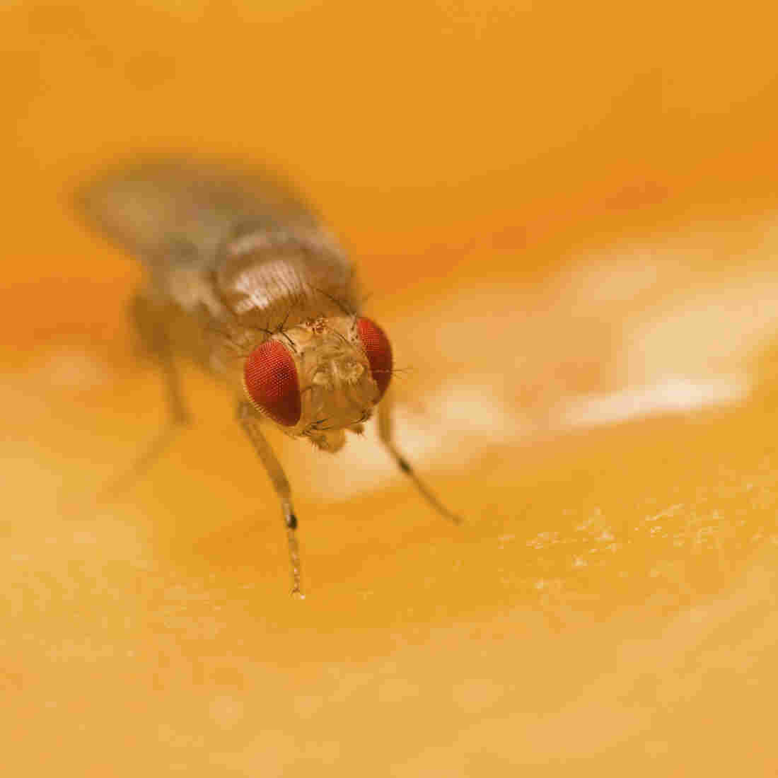 Fruit Fly Nose Says Steer Clear Of Deadly Food; Human Nose Not So Reliable