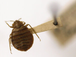 Bedbugs are becoming a common nuisance in many places. But cheap ultrasonic devices advertised as bedbug repellents don't work, scientists say.
